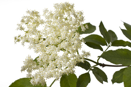 An elder branch with flowers in spring