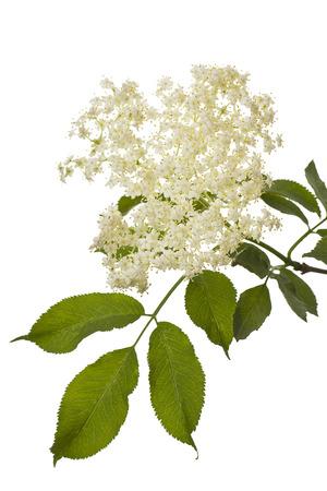 tea garden: An elder branch with flowers in spring