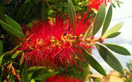 Flessenborstel Plant met rode haren