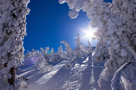 sierras: Snow covered trees in the sunshine, following heavy snowfall, Mammoth Mountain, California, United States