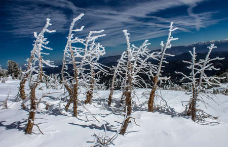 sierras: A cluster of hoar frosted trees, following a heavy snowfall, Mammoth Mountain, California, United States