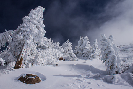 sierras: Snow covered Winter trees ,following a heavy snowfall, Mammoth Mountain, California, United States
