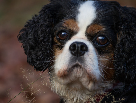tricolour: Portrait of a female tricolour Cavalier King Charles Spaniel in the outdoors