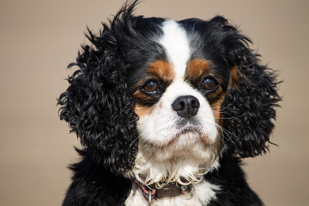 tricolour: Portrait of a female tricolour Cavalier King Charles spaniel in the outdoors,Wirral, Cheshire, England