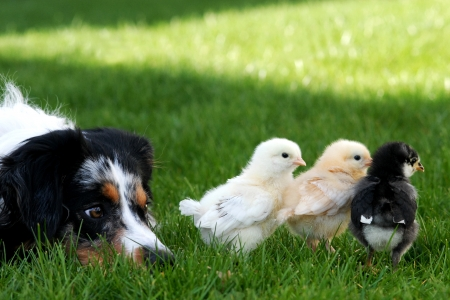in herding: A watchful herding dog keeping an eye on her chicks Stock Photo