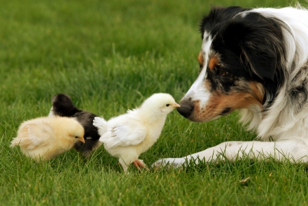 A herding dog being very gentle with baby chicks  photo