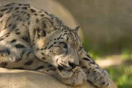 Endangered Snow Leopard resting on a rock. photo