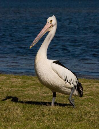water fowl: Australian Pelican walking in grass near water.