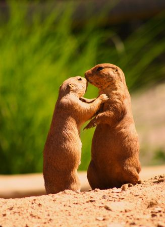 Two affectionate prairie dogs.