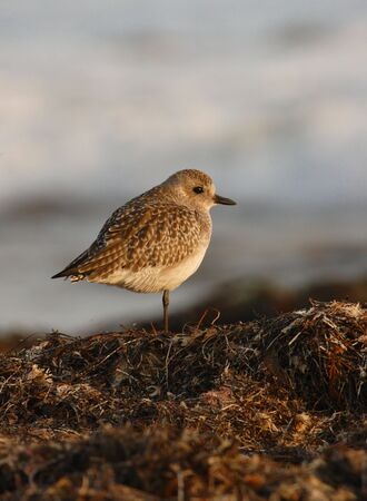 A sandpiper on a pile of seaweed. Stock Photo