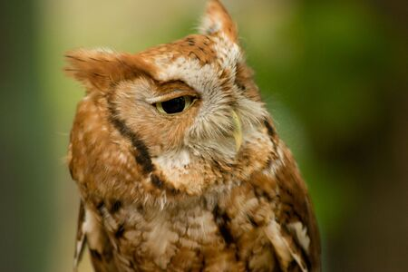 Closeup of an eastern screech owl. photo