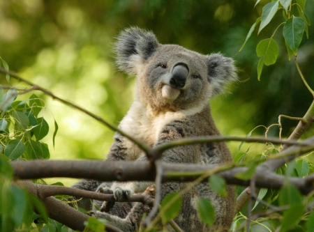 koalabeer: Koala zittend op een boom tak