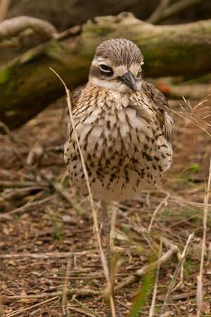 referred: A Stone-Curlew sometimes referred to as a Bush Thick-Knee.  Native to Australia. Stock Photo
