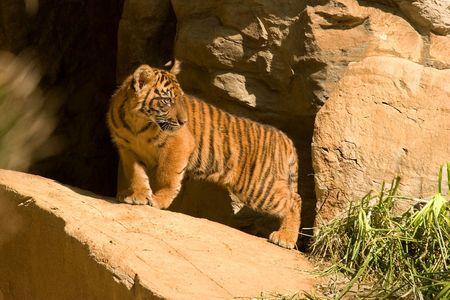 tiger cub: Un jeune tigre ourson sur un rocher.
