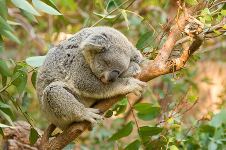 animal pouch: A koala sleeping on a eucalyptus tree branch.
