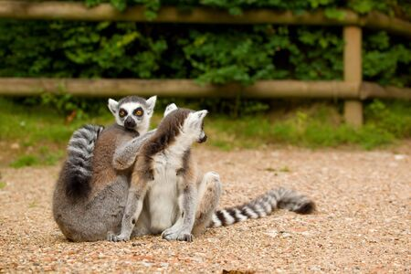 Two ring-tailed lemurs grooming each other in the sun. Фото со стока