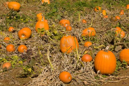 midst: A pumpkin patch in the midst of autumn.