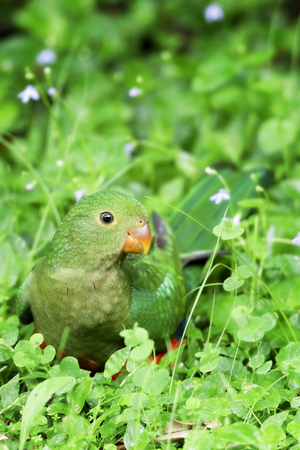 king parrot: Baby King Parrot