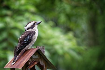 bird feeder: Kookaburra sitting on a bird feeder