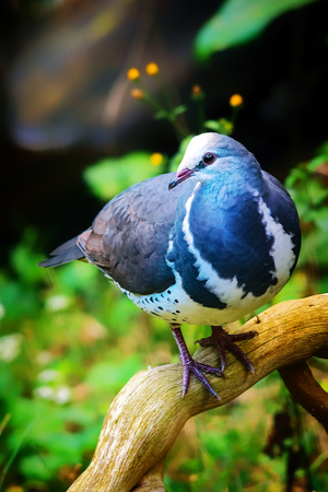 elusive: Blue wonga pigeon perched on a log Stock Photo