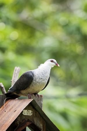 white headed: White headed pigeon perched on a bird feeder