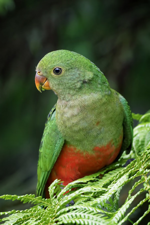 king parrot: Young king parrot sitting in tree fern Stock Photo