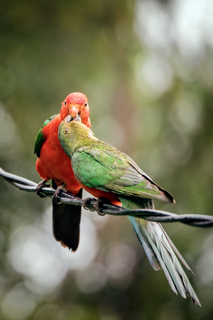 king parrot: King parrot feeding his young