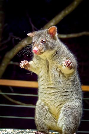 possum: Short-eared mountain possum standing on back legs in defensive position Stock Photo