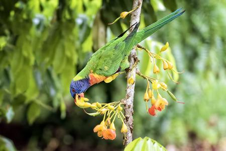 cabeza abajo: De arco iris colgando boca abajo comer n�ctar