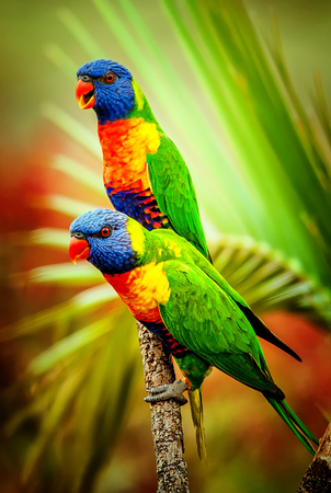 bird beaks: Rainbow lorikeets in a tropical setting Stock Photo