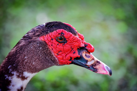 muscovy duck: Young male muscovy duck up close
