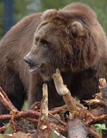 Grizzly bear foraging near Yellowstone National Park, Montana Banco de Imagens