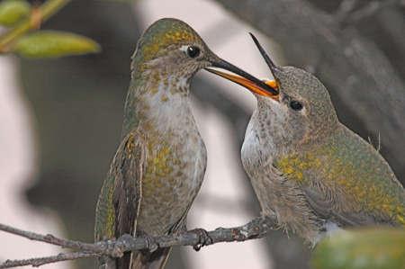 Annas hummingbird mother feeding baby near Lake Murray, San Diego, California Banco de Imagens