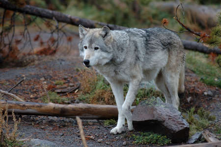 Gray wolf walking near Yellowstone National Park, Montana