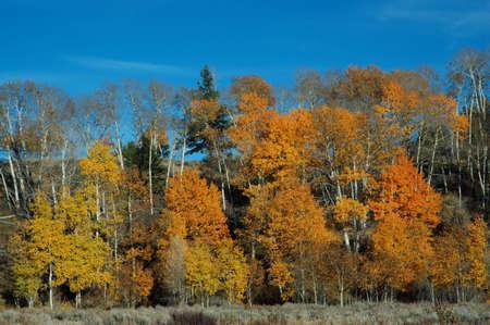 Fall colors of aspen in Grand Teton National Park