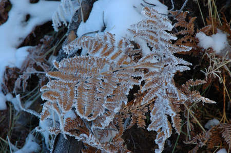 An ice covered fern leaf after an autumn snow in Yellowstone National Park Banco de Imagens