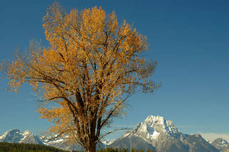 A cottonwood tree against the backdrop of a beautiful blue sky and Mt Moran.  Grand Teton National Park, Wyoming. Banco de Imagens