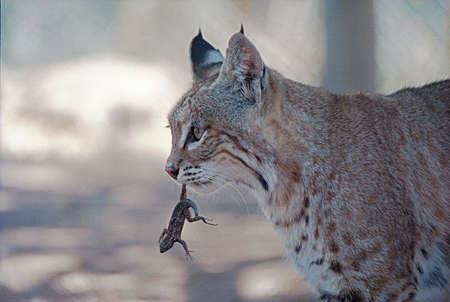 Bobcat with a lizard in his mouth, San Diego, California