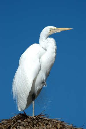 Great egret, San Diego, California