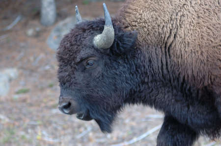 bison wandering in Yellowstone National Park
