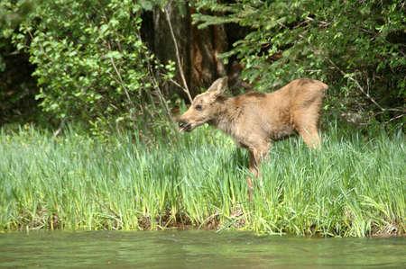 Moose calf wandering to river for a drink of water, Rocky Mountain National Park, Colorado Banco de Imagens