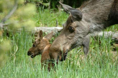 Moose cow and calf at Timber Creek, Rocky Mountain National Park, Colorado Banco de Imagens