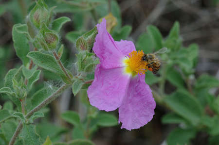 Rock Rose with a Honey Bee in the Spring