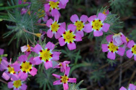 Yellow-Throated Gilias in the Sierra Nevadas