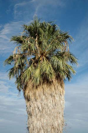 Palm Tree at Joshua Tree National Park, California