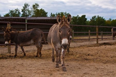 corral: Two donkeys outside in a corral Stock Photo