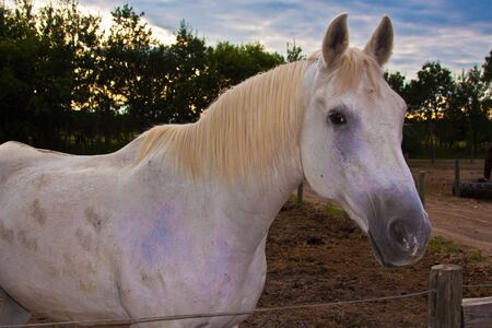 steed: Old white horse standing outside