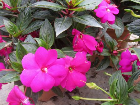 fuschia: Beautiful fuschia flowers