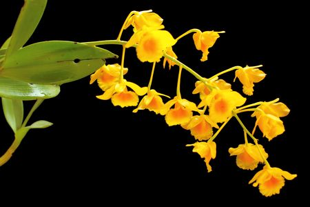 Yellow orchid Stock Photo - 6951158