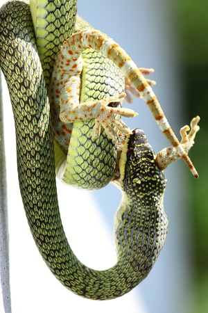 The  venom green snake is eating gecko Stock Photo - 9686491